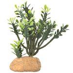 Hobby Euphorbia Cactus